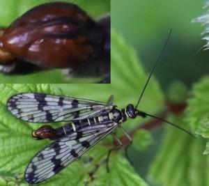 Almindelig skorpionflue