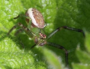 Grøn krabbeedderkop