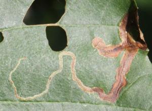 Agromyza alnivora (rødel)