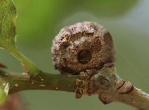 Andricus lignicolus (eg)