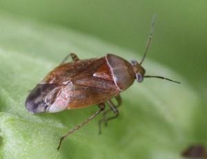 Agnocoris rubicundus