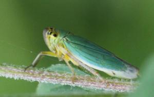 Grøn Sumpcikade