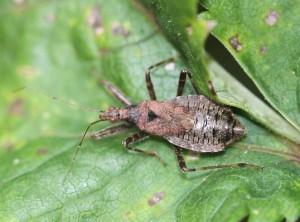 Myrenymfetæge