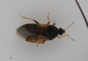 Orius sp.