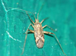 Phytocoris sp.