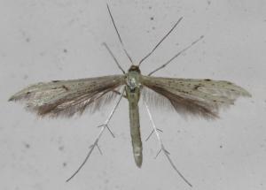 Adaina microdactyla
