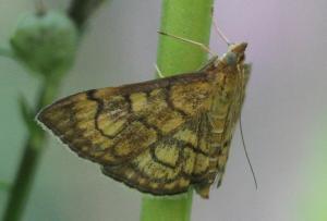Anania verbascalis