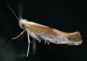 Argyresthia albistria