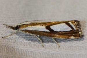 Catoptria permutatellus/osthelderi