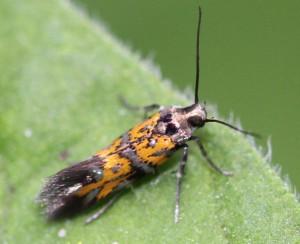 Chrysoesthia drurella