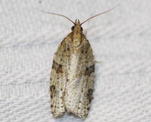 Clepsis spectrana