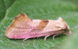 Cochylis roseana