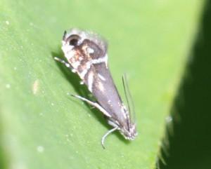 Glyphipterix sp.