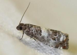 Notocelia sp.