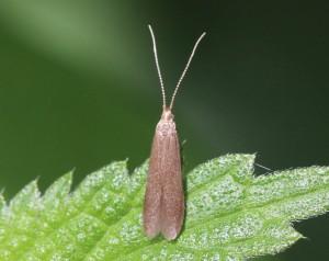 Coleophora sp.