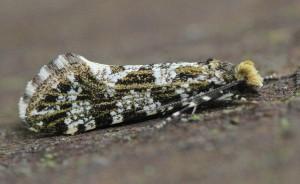 Triaxomera parasitella
