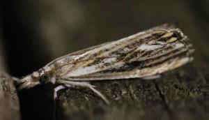 Catoptria verellus