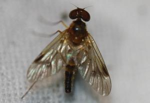 Chrysopilus sp.