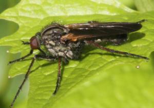 Stor danseflue