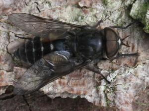 Hybomitra bimaculata