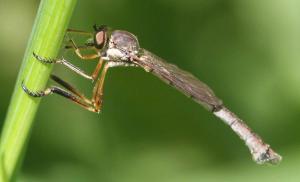 Lang Græsrovflue