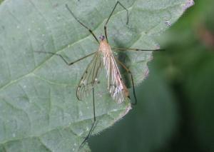 Limonia phragmitidis