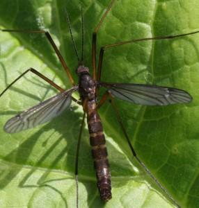 Nigrotipula nigra