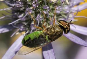 Odontomyia angulata