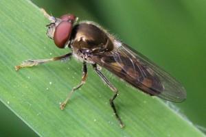 Stor bredfodsflue