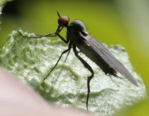 Rhamphomyia pilifer