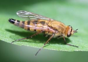 Almindelig stiletflue