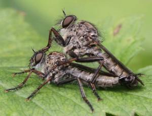 Tolmerus atricapillus