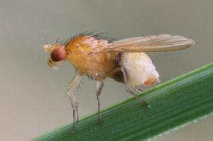 Tricholauxania praeusta