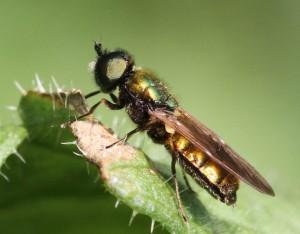 Grøn våbenflue