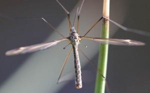 Tipula lateralis
